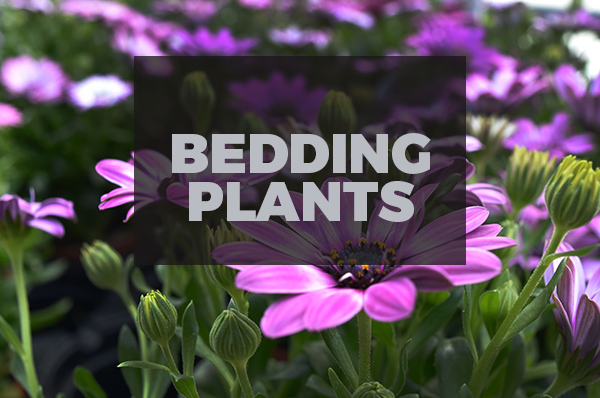 bedding-plants