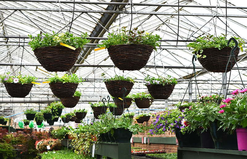 Hanging-Basket-Plant